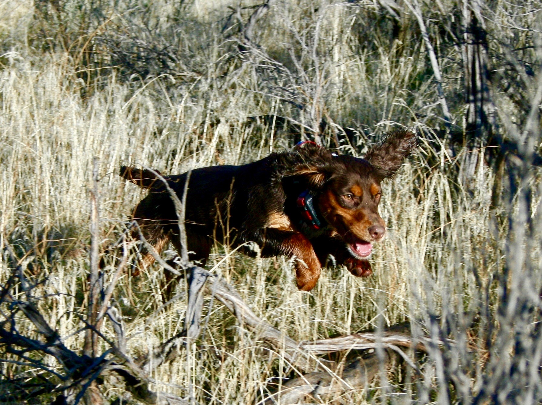 Field Bred Cocker hunting dog